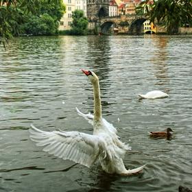 Labuť na Vltavě