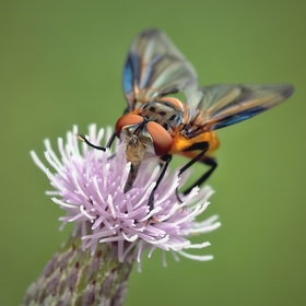 Hladová moucha