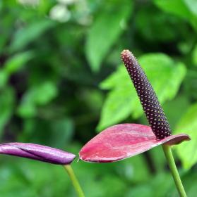 Sweet Purple Dream