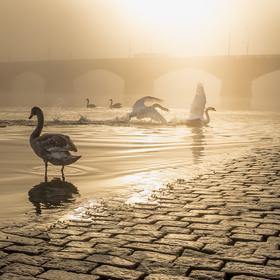 swan game