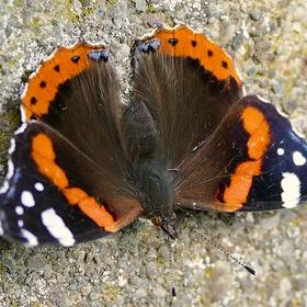 Denní motýl v lásce znamená, že není marná, není ztracená