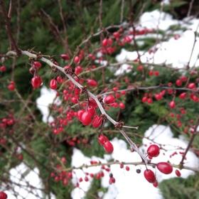 Červeň v zimě