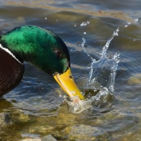 Kachní hygiena zobáčku