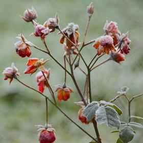 Zmrzlé růže