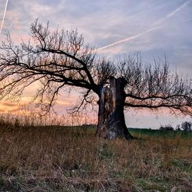 Dub v Jedličné