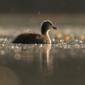 Lyska čierna (Fulica atra)- mláďa