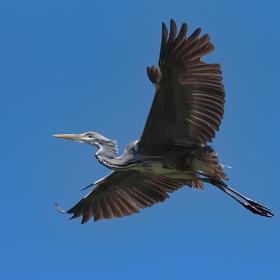 Volavka popelavá v letu