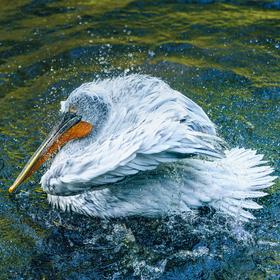 Keď sa kúpe pelikán