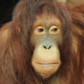 orangutan bornejský (Pongo pygmaeus pygmaeus)