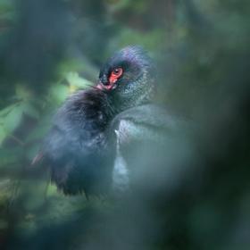 čáp černý, Bavorský les