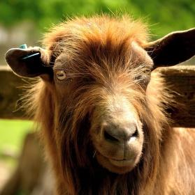 Kozí bradka