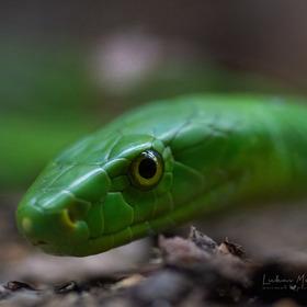 Mamba zelená/Western green mamba