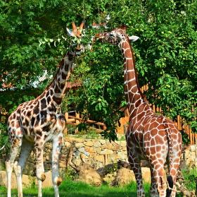 žirafy se zabydlují v jihlavské zoo