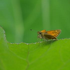 Rezavý motýl :-)