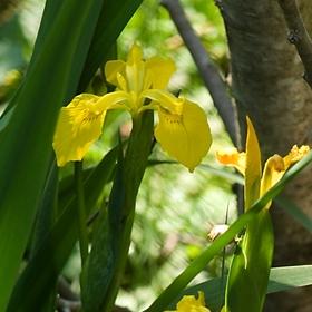 kosetec žlutý