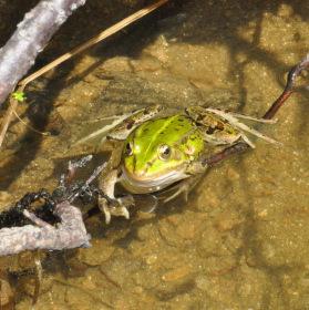 Obyvatel rybníku