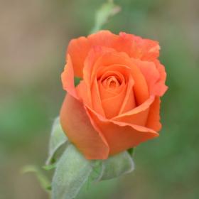 Růže ze zahrádky.. :))