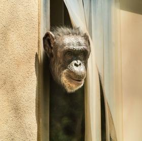Zvědavá opice