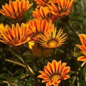 Opečovávané květy