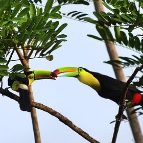 Tukan žlutoprsý ( Ramphastos sulfuratus )