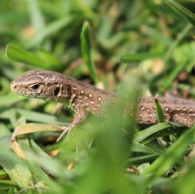 Ještěrka v trávě