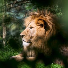 Lev berberský (Panthera leo leo)