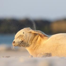 Helgoland - ráj pro tuleně