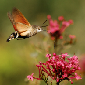 Dlouhozobka svízelová (bezobratlý kolibřík :)