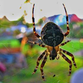 Pavouk v rauši