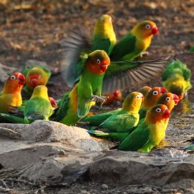 Papouščí napajedlo