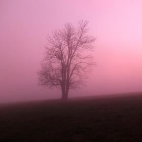 Růžový sen....
