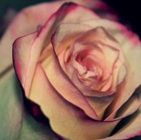 Podvečerní růže