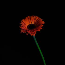 Noční Gerbera