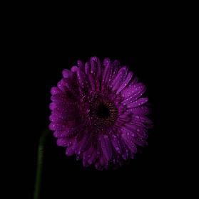 Poslední ze série nočního života květin