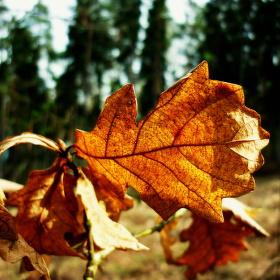 Dub v paprscích slunce