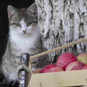 Kočka jablečná