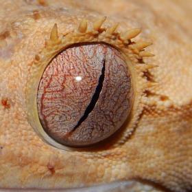 rhacodactylus ciliatus - Pagekon