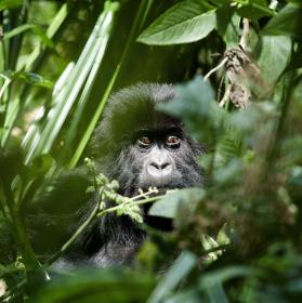 Schovaná horská gorilka