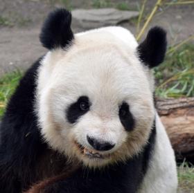 Panda velká (Ailuropoda melanoleuca)
