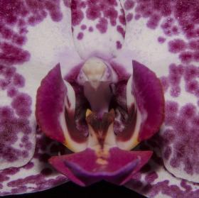 Zívající orchidej
