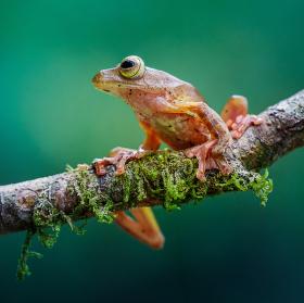 Rosnička | Borneo