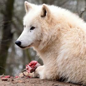 Odpolední svačinka Vlka arktického