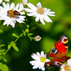 Včelkomotýlová...