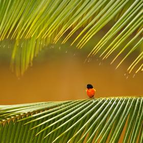 Trupiál | Kostarika
