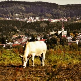 Kráva na pastvě