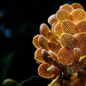 Orchidej II