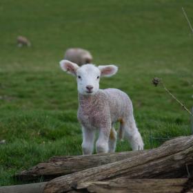 Za domečkem na stráni, ovečky se nám prohání