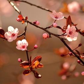 Japonské jaro
