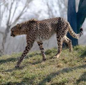 Jarní gepard