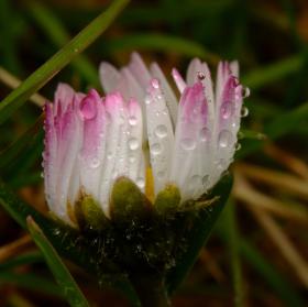 Sedmikráska po dešti